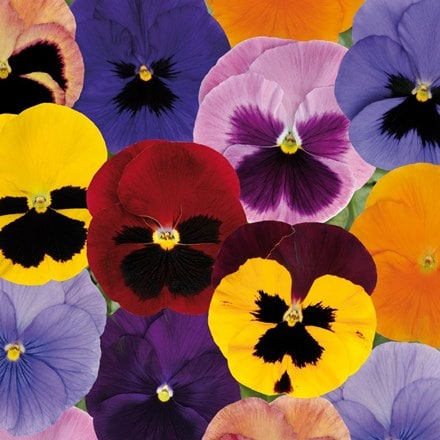Pansy Matrix F1 Autumn Select Mixed