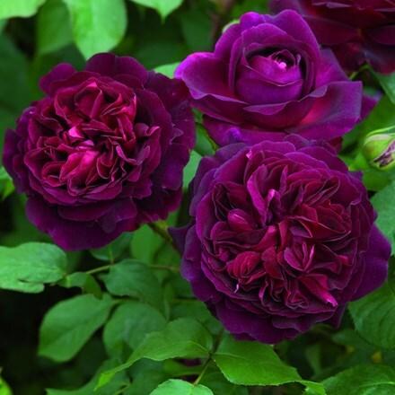 Rosa Munstead Wood ('Ausbernard') (PBR)