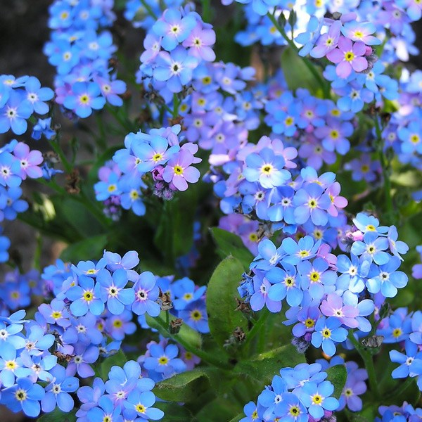 Image result for forget me nots