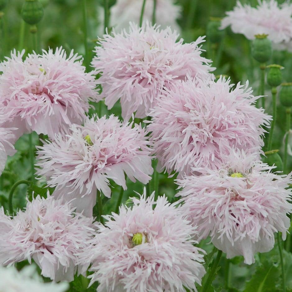 Buy Opium Poppy Papaver Somniferum Lilac Pompom 249 Delivery By