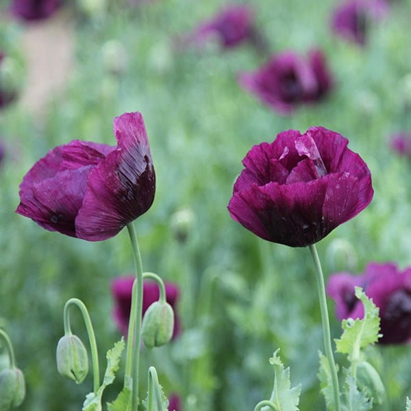 <i>Papaver somniferum</i> 'Lauren's Grape'