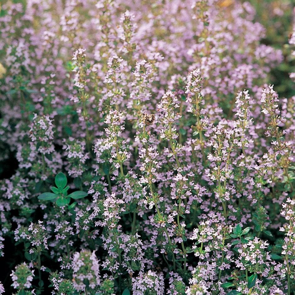 thyme - organic seeds / Thymus vulgaris