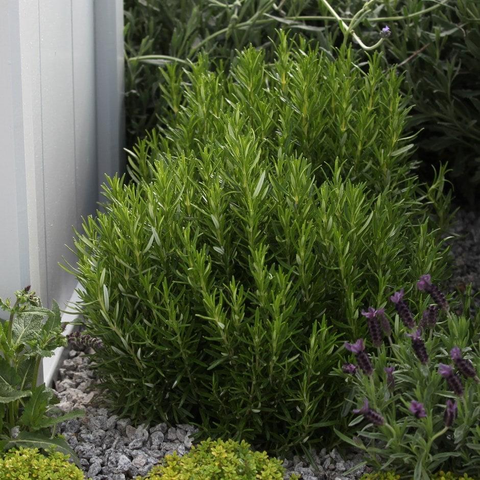 rosemary seeds / Rosmarinus officinalis