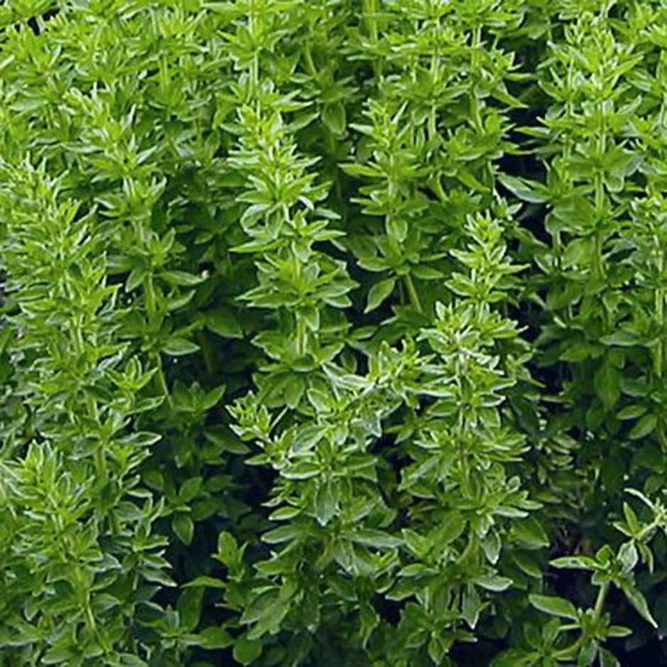 Greek oregano seeds / Origanum vulgare subsp. hirtum
