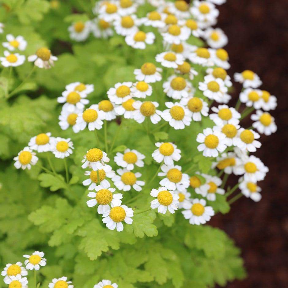 feverfew - organic seeds / Tanacetum parthenium