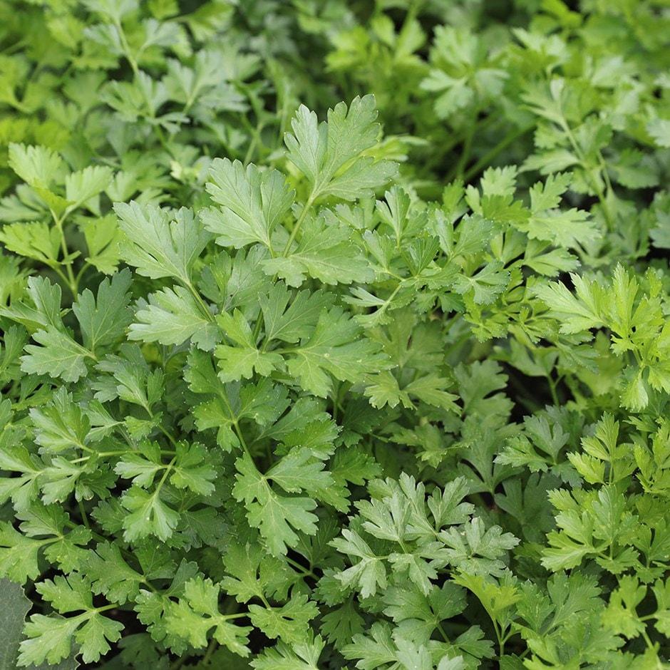 French flat parsley / Petroselinum crispum 'French' organic seeds