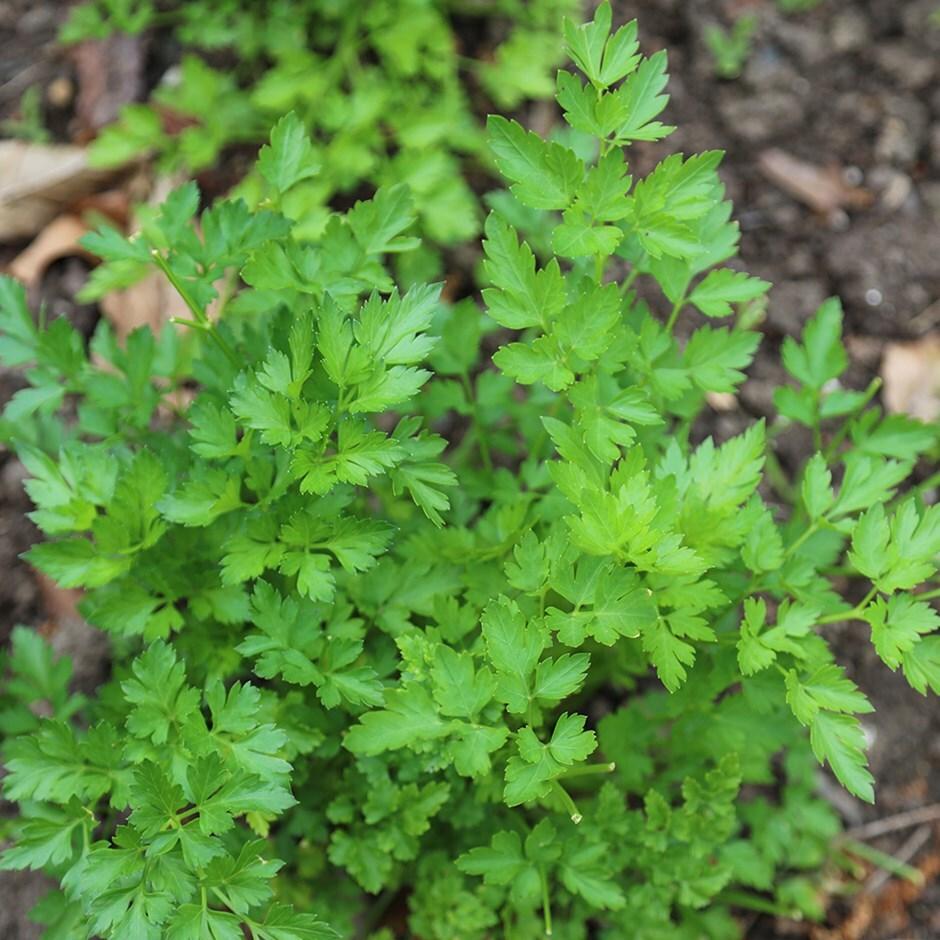 parsley 'Italian Giant' -  Petroselinum crispum var. neapolitanum