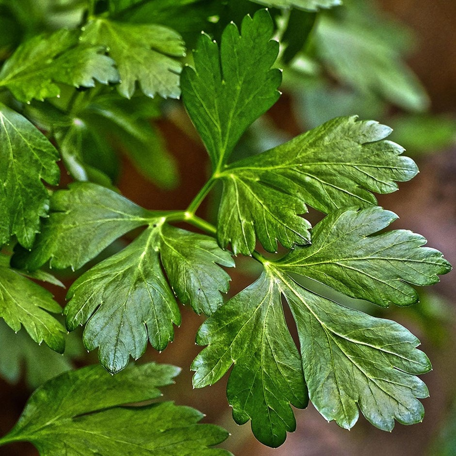 parsley 'Italian Gaint' (organic)