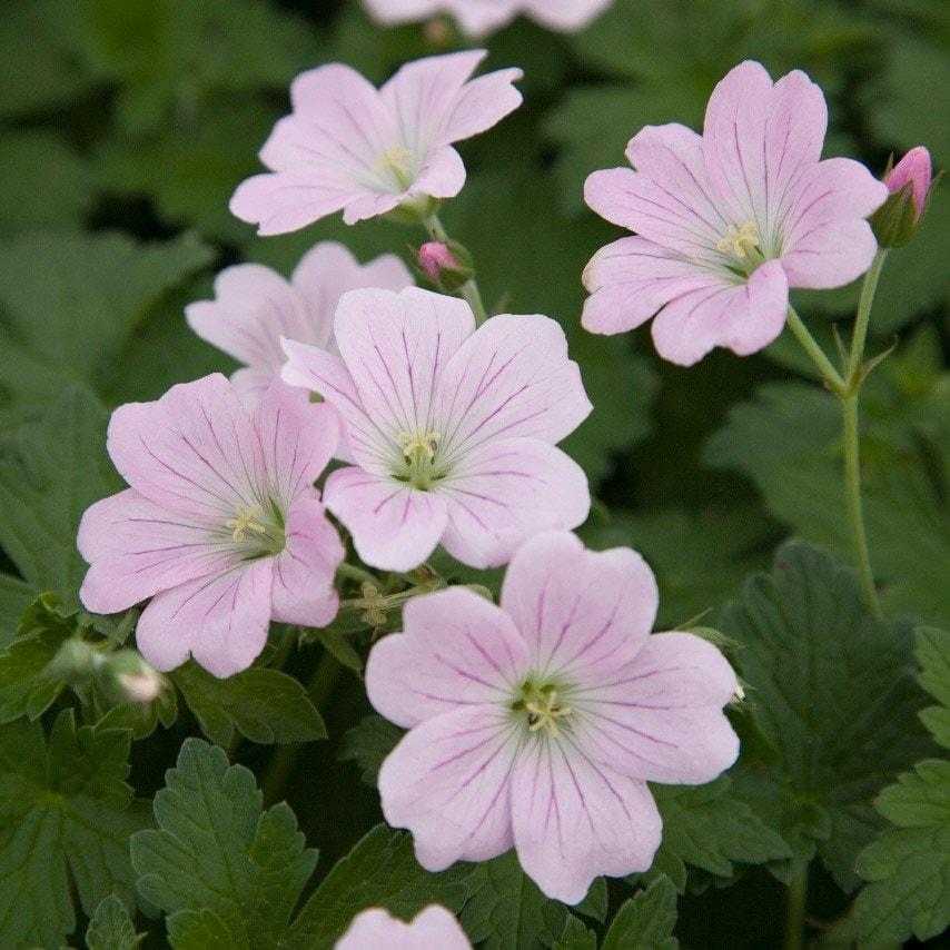 """Résultat de recherche d'images pour """"geranium"""""""