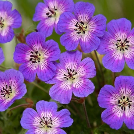 Geranium wallichianum Rise and Shine (PBR)