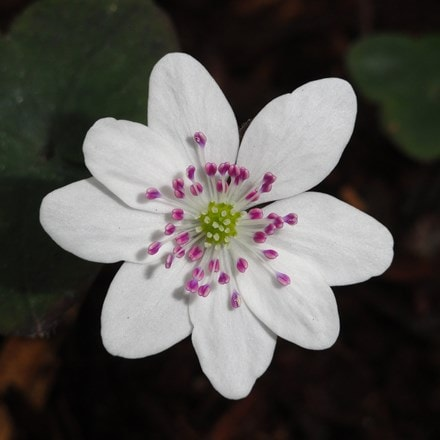 Hepatica 'Forest 'White' (Forest Series)