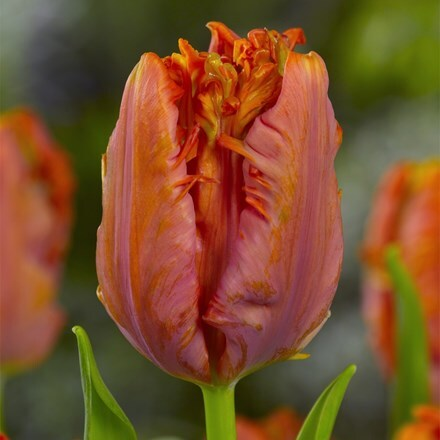 Tulipa Ego Parrot