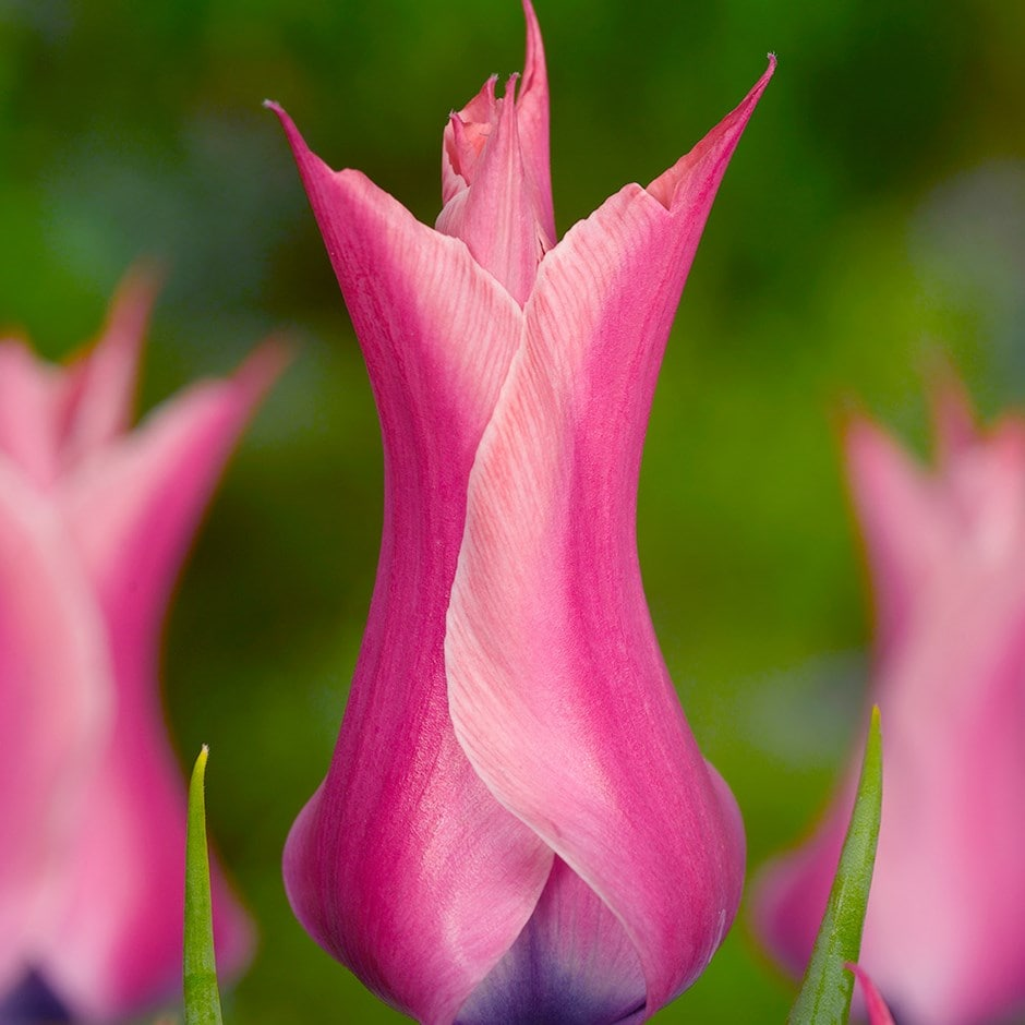 Buy Lily Flowered Tulip Bulbs Tulipa Yonina 163 2 5 Delivery