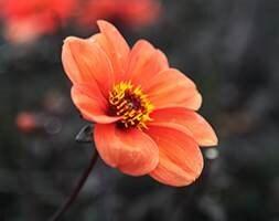 miscellaneous dahlia tuber
