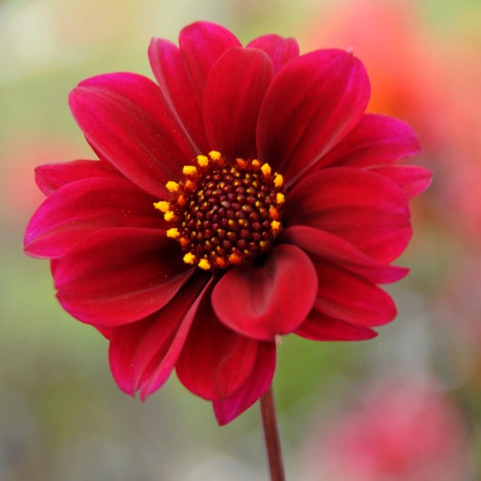 Buy Paeony Flowered Dahlia Tuber Dahlia Bishop Of Canterbury Pbr