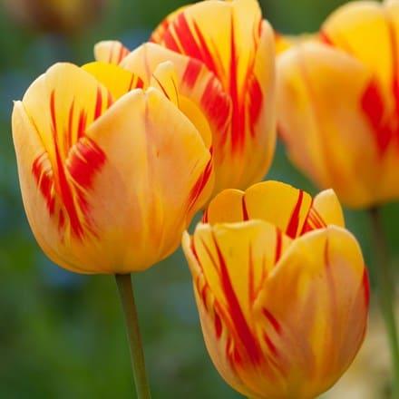 Tulipa Olympic Flame