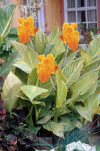 Canna indica Tropicanna Gold ('Mactro') (PBR)