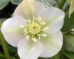 Helleborus × hybridus Pretty Ellen White