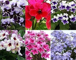 cape primrose collection