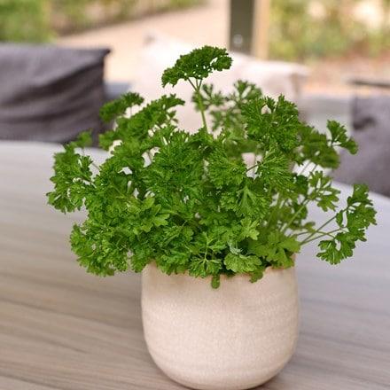 Petroselinum crispum Extra moss curled