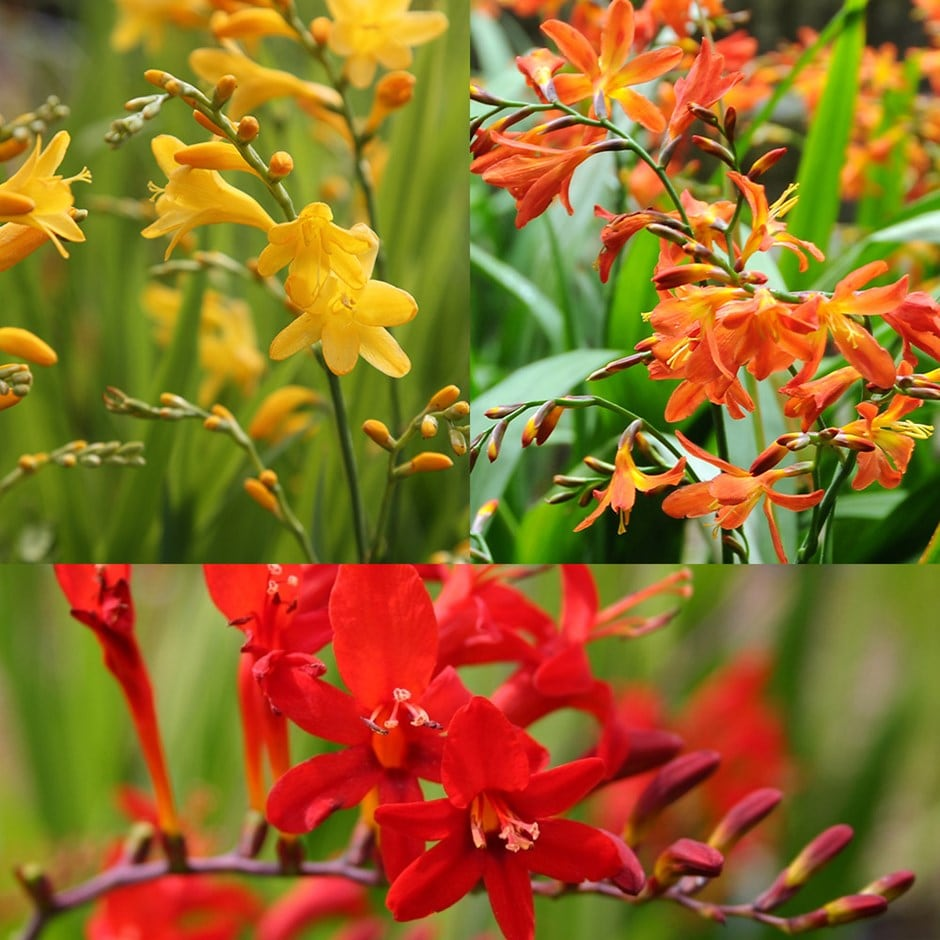montbretia collection