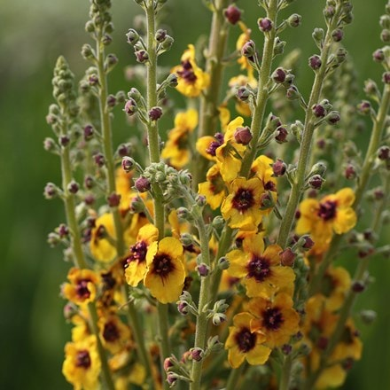Verbascum (Cotswold Group) Cotswold Queen
