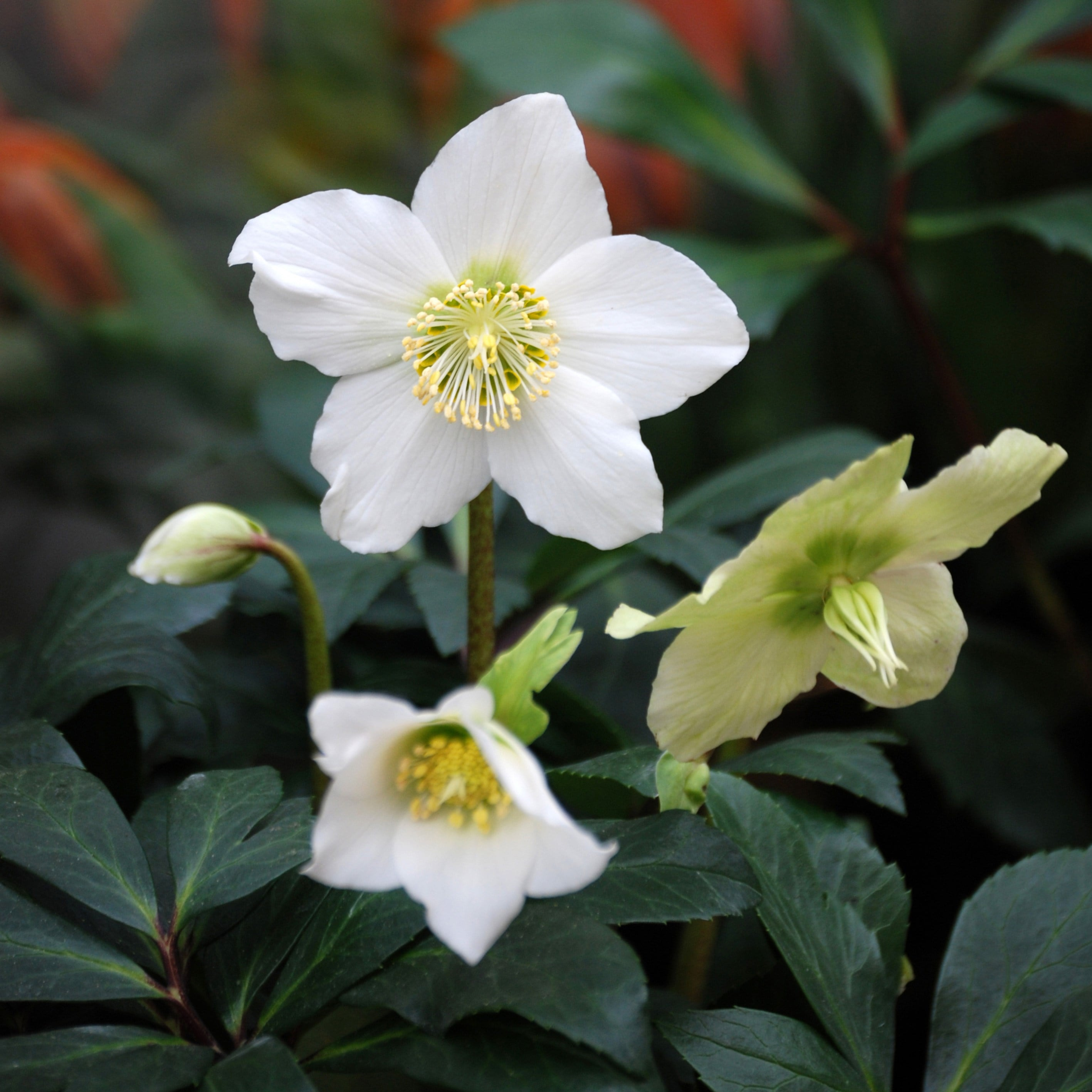 buy christmas rose helleborus niger
