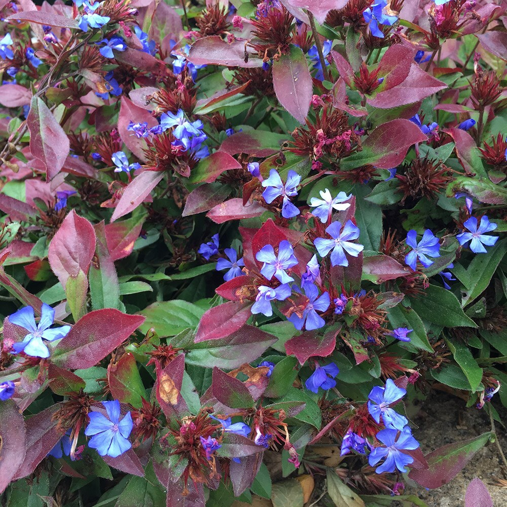 Buy Plumbago Ceratostigma plumbaginoides For Sale Online From ...