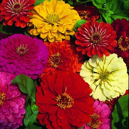 Zinnia Dahlia-Flowered Mixed