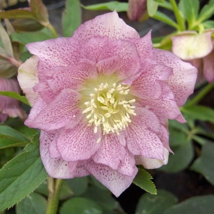 Helleborus × hybridus Double Ellen Pink