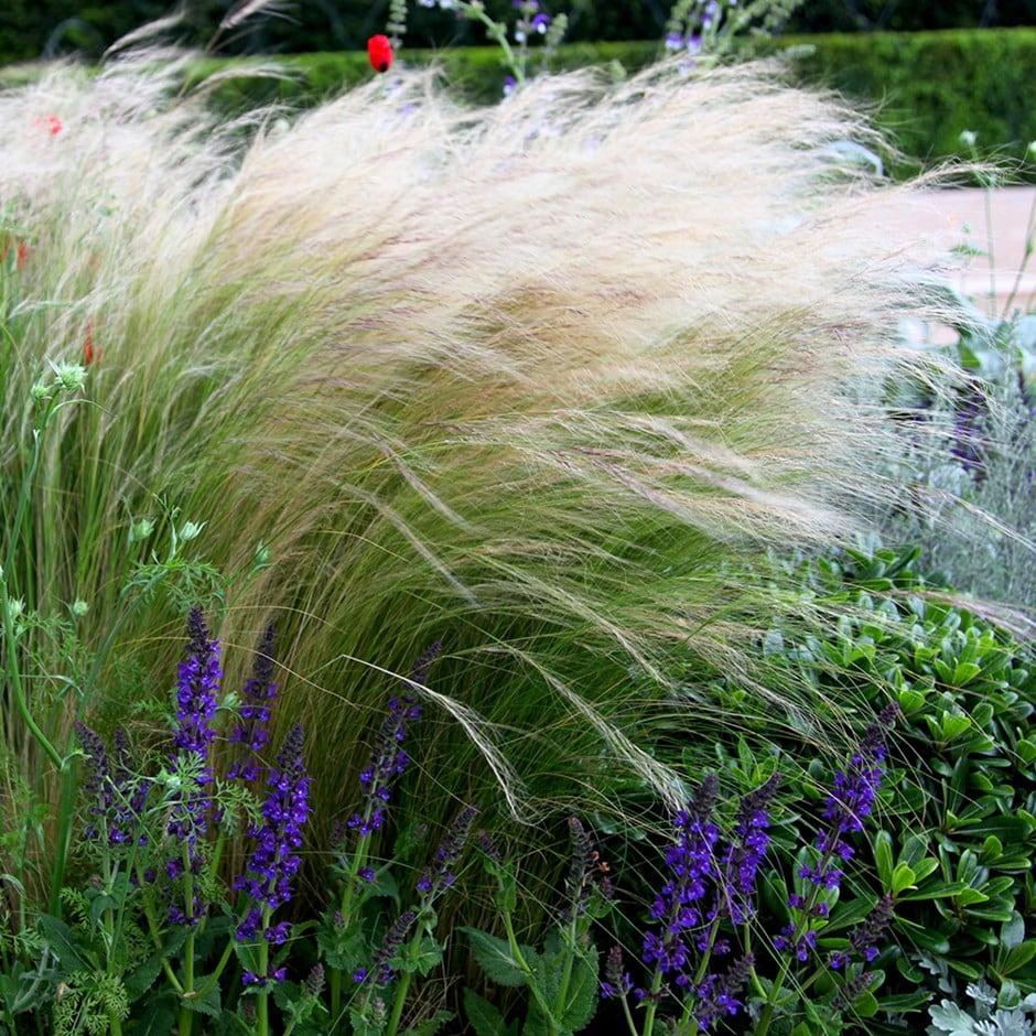 stipa ( syn. Stipa tenuifolia )