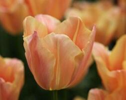 Tulipa Stunning Apricot
