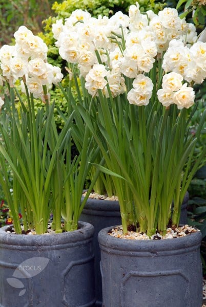 Buy Double Daffodil Bulbs Narcissus Bridal Crown 163 5 99
