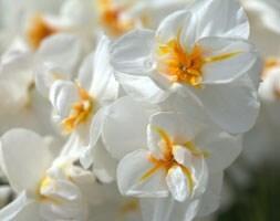 double daffodil bulbs