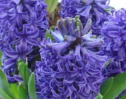 'prepared' hyacinth bulbs for forcing