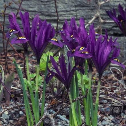 Iris J.S. Dijt (Reticulata)