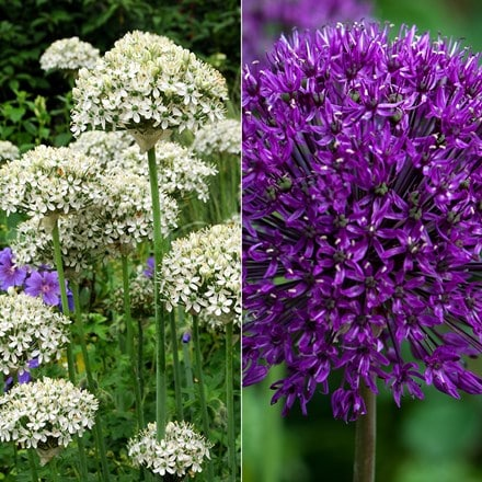 Allium collection
