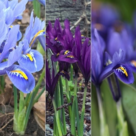 Iris reticulata bulb collection