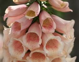 Digitalis purpurea Dalmatian Peach  (Dalmatian Series)