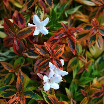 Abelia × grandiflora Kaleidoscope (PBR)