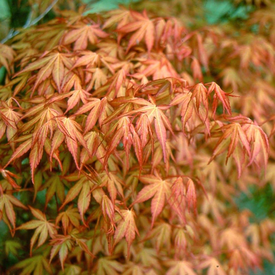 Image of Acer palmatum Katsura 3 litre pot (30cm)