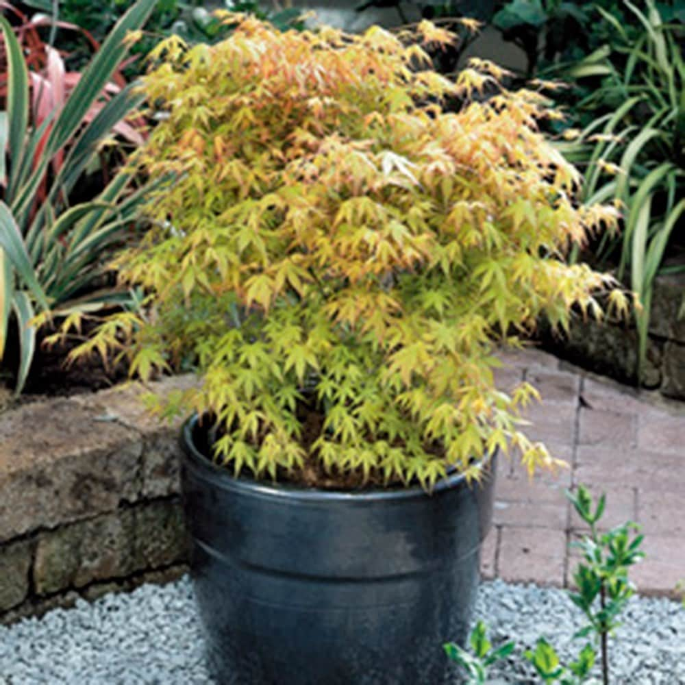 Buy Japanese Maple Acer Palmatum Katsura Delivery By