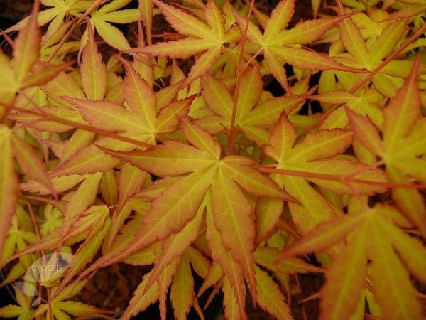 Buy Japanese Maple Acer Palmatum Katsura 163 29 99 Delivery