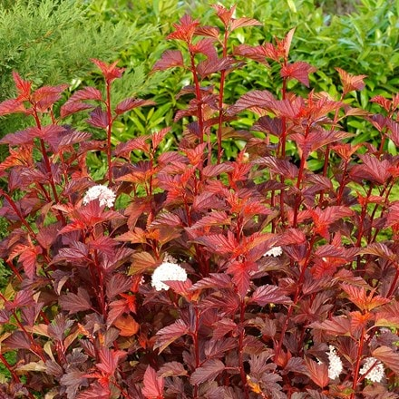 Physocarpus opulifolius Diable D'Or ('Mindia') (PBR)