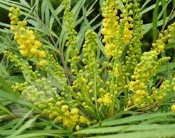 Mahonia eurybracteata subsp. ganpinensis Soft Caress (PBR)