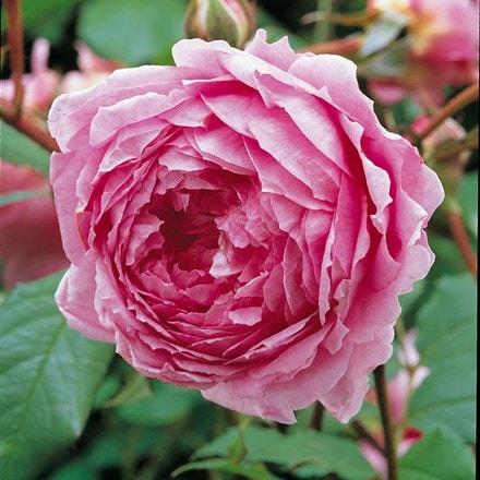 Rosa Alan Titchmarsh ('Ausjive') (PBR)