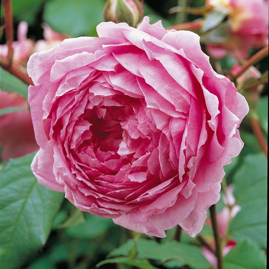 rose Alan Titchmarsh (shrub)