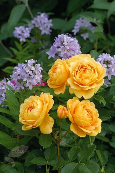 buy rose golden celebration shrub rosa golden. Black Bedroom Furniture Sets. Home Design Ideas