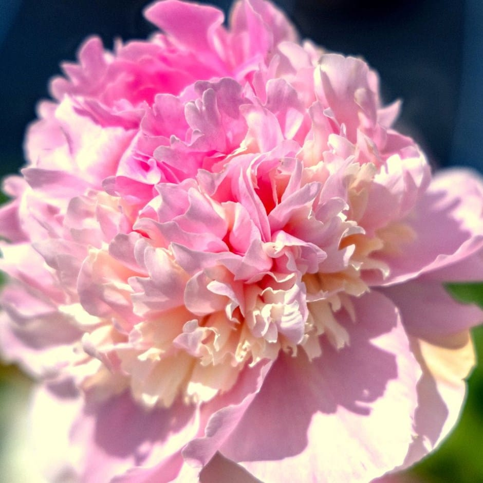<i>Paeonia lactiflora</i> 'Angel Cheeks'