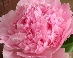 Paeonia lactiflora Angel Cheeks